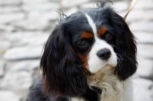 tri Color Spaniel dog-634031__340