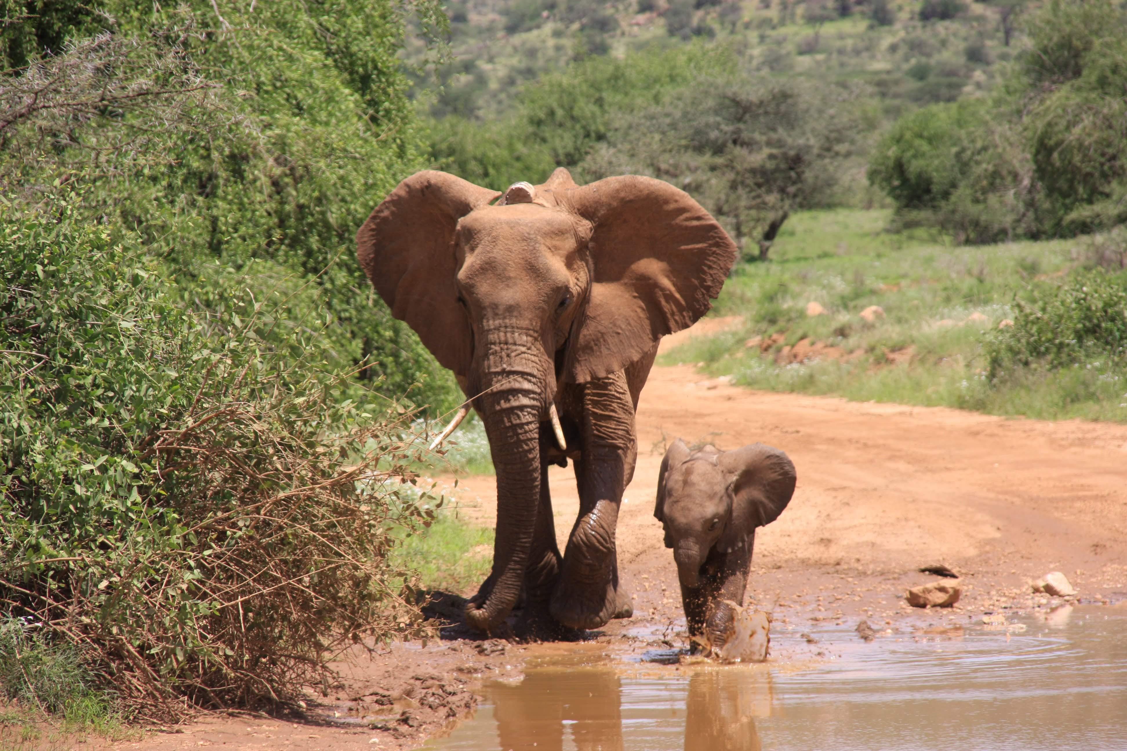 Elephant Mother & Child Puddle