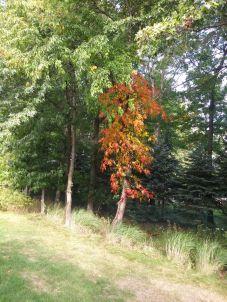 Autumn tree in Ohio